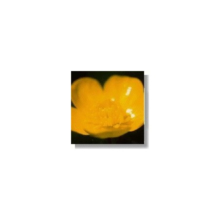Buttercup