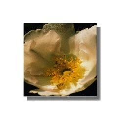 Japanese Rose (Rosa roxbourghi)