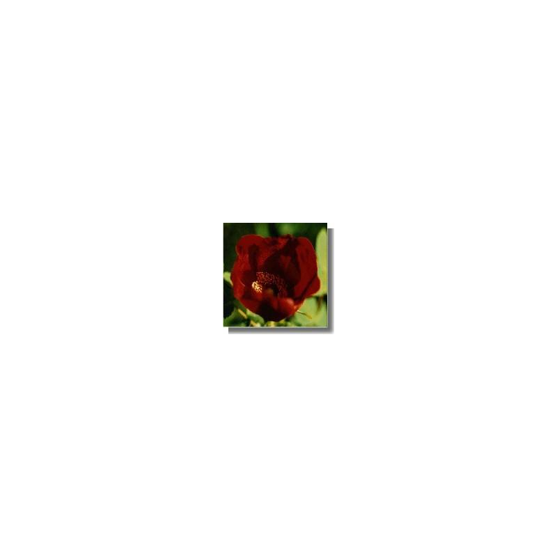 Hybride Wild Rose (Rosa X pruhoniciana)