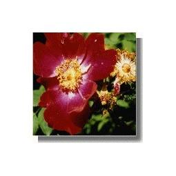 Tibetan Rock Rose (Rosa moyesii)