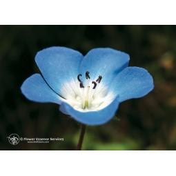 Baby Blue Eyes (Nemophila menziesii)