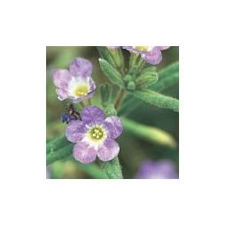 Purple Mat (Nama hispidum)