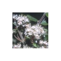 Red Root (Ceanothus greggii)