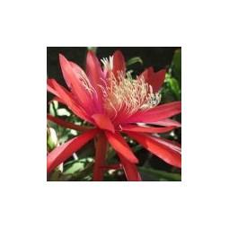 Red Orange Epiphyllum (Epiphyllum)