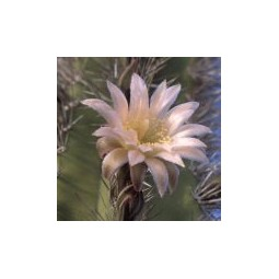 Senita (Lophocereus schottii)