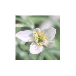 Star Leaf (Choisya arizonica)