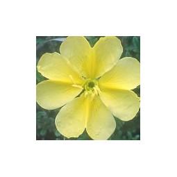 Star Evening Primrose (ex Star Primrose) (Oenothera)