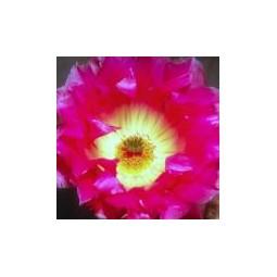 Sonoran Rainbow Cactus (ex Strawberry Cactus) (Echinocereus pectinatus)