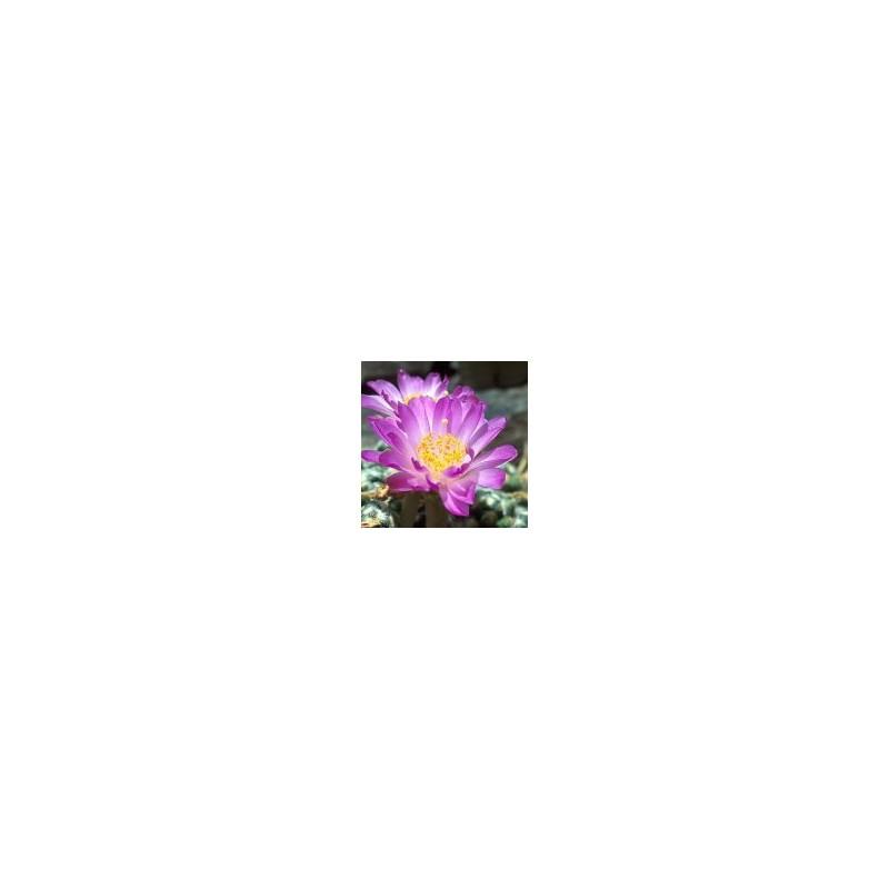 Theresa Cactus (Mammillaria Theresa)