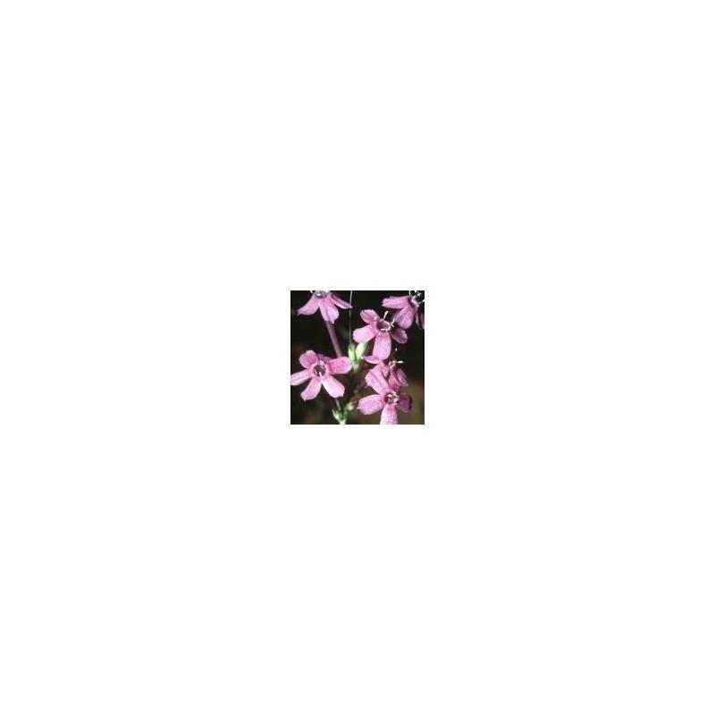 Thurber's Gilia (Gilia thurberi)