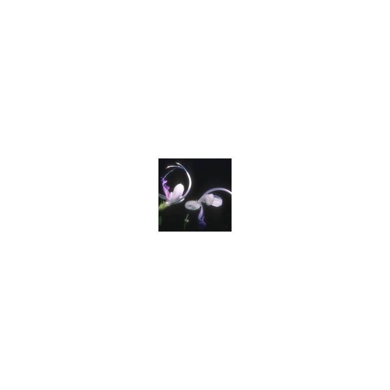Violet Curls (Trichostema arizonica)