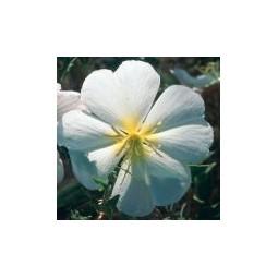 White Desert Primrose