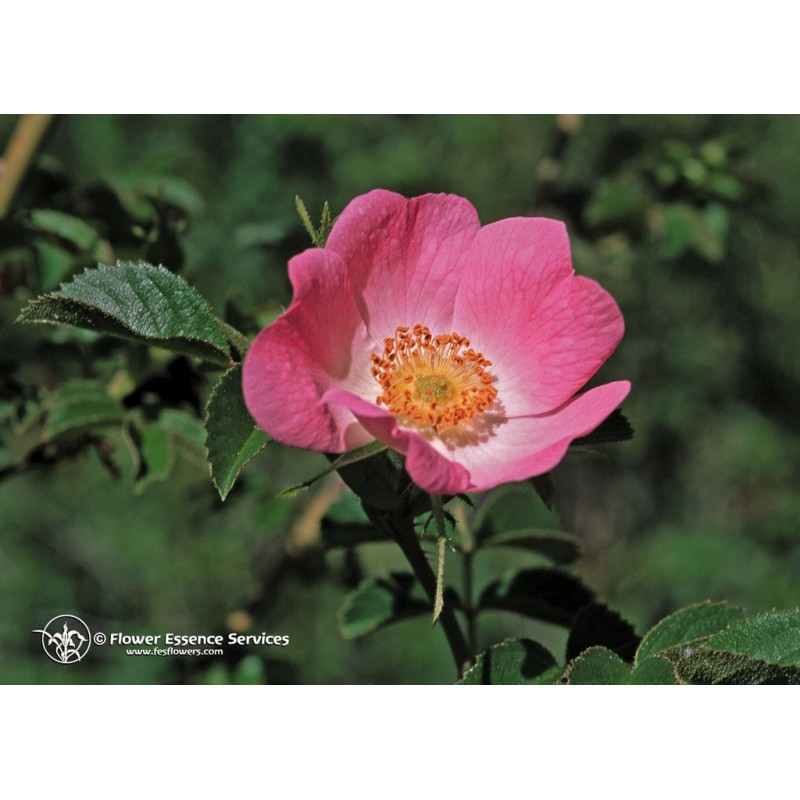 California Wild Rose (Rosa californica)