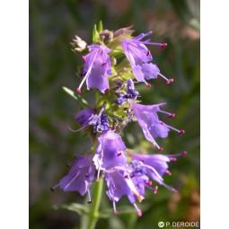 Essenza Singola DEVA - Hysope (Hyssopus officinalis) 10 ml