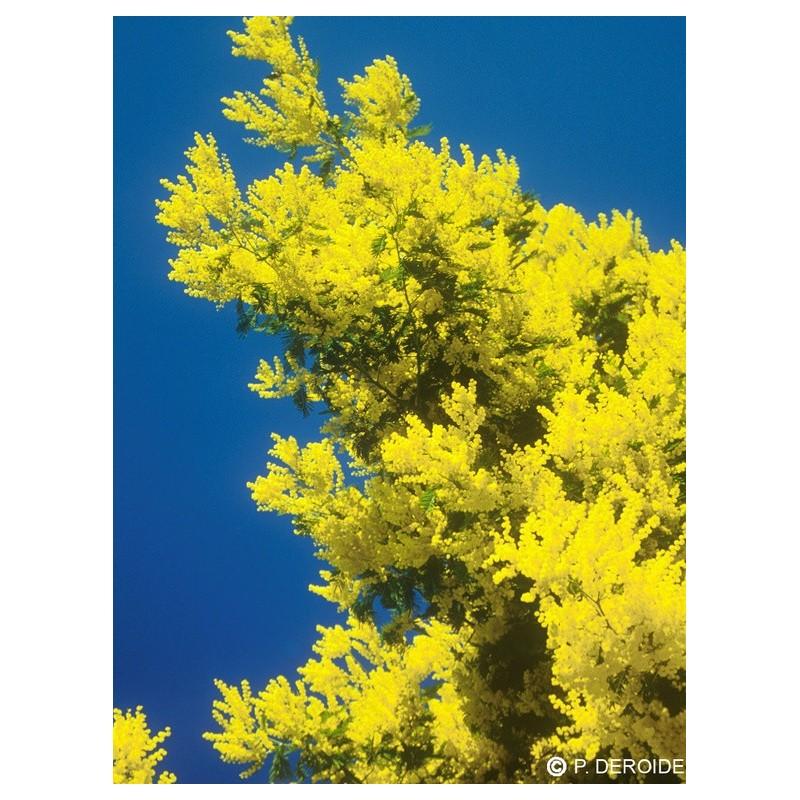 Essenza Singola DEVA - Mimosa (Acacia