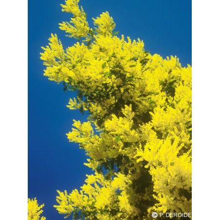 Essenza Singola DEVA - Mimosa (Acacia dealbata) 10 ml