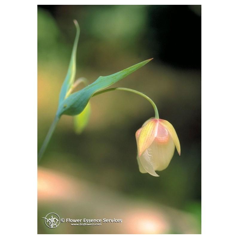Fairy Lantern (Calochortus albus)